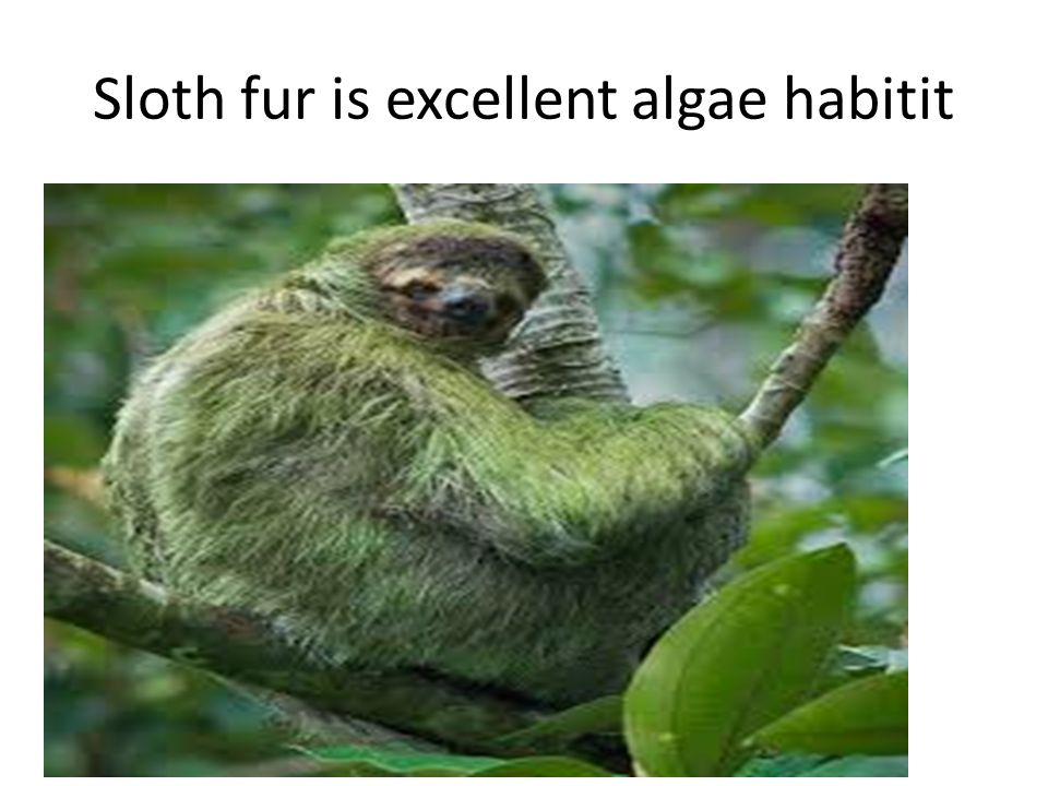 Sloth fur is excellent algae habitit