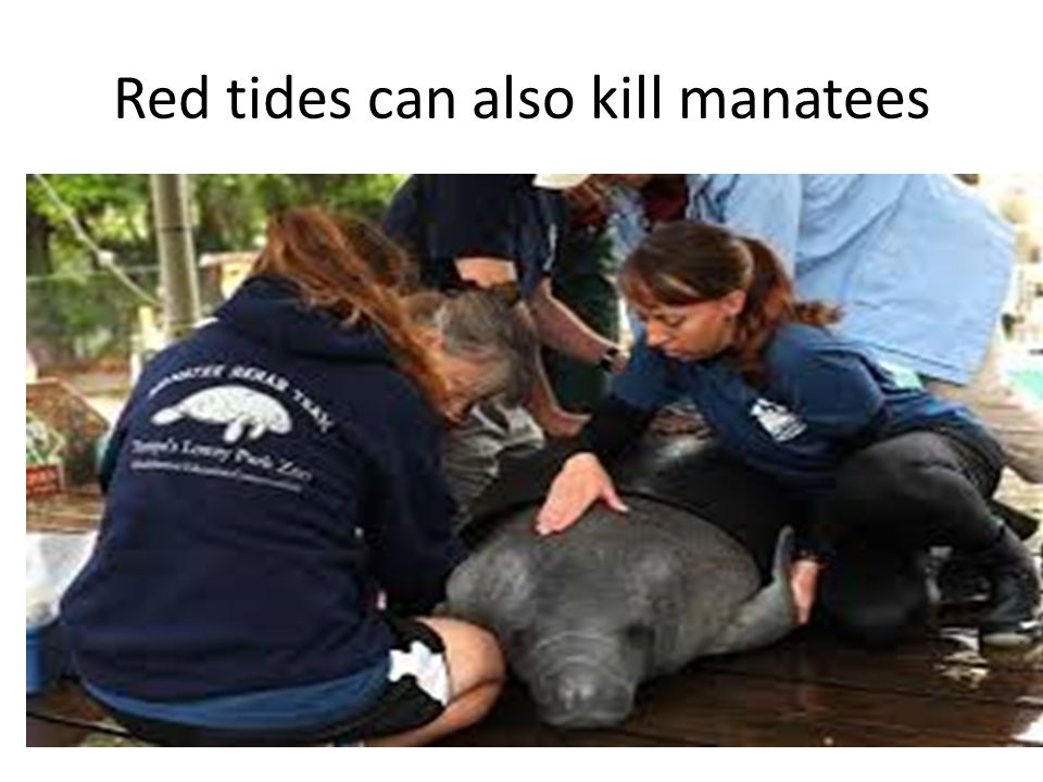 Red tides can also kill manatees