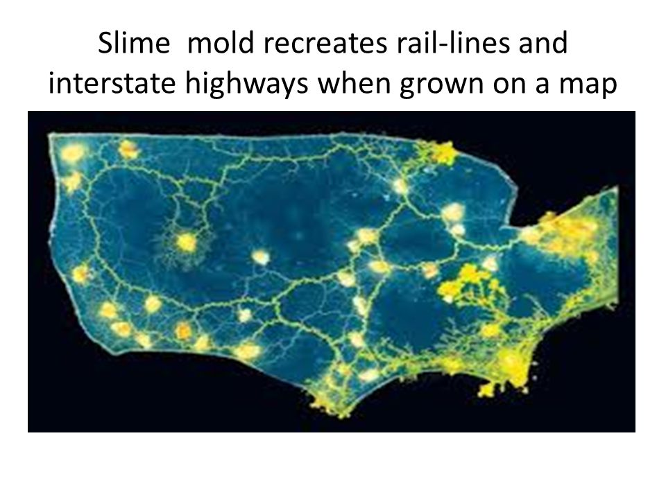 Slime mold recreates rail-lines and interstate highways when grown on a map