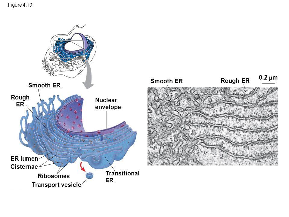 Figure 4.10 Transport vesicle Smooth ER Rough ER Ribosomes Transitional ER Cisternae ER lumen Smooth ER Rough ER Nuclear envelope 0.2  m