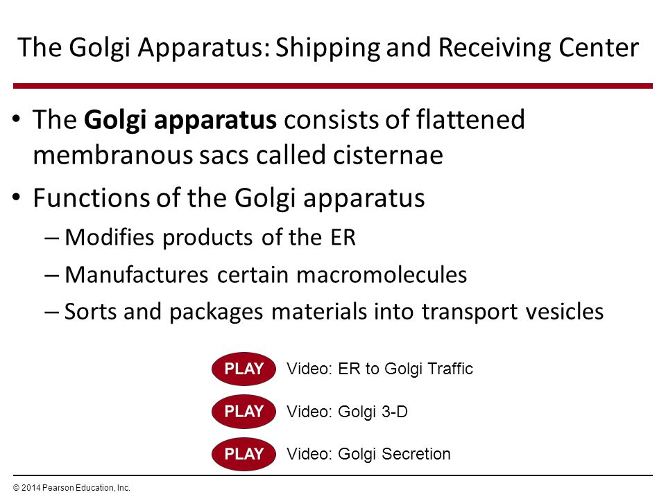 The Golgi apparatus consists of flattened membranous sacs called cisternae Functions of the Golgi apparatus – Modifies products of the ER – Manufactur