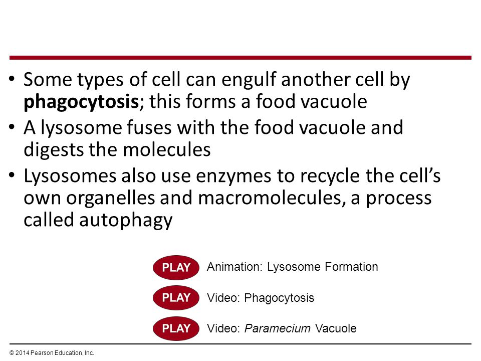 Animation: Lysosome Formation Video: Phagocytosis Some types of cell can engulf another cell by phagocytosis; this forms a food vacuole A lysosome fus