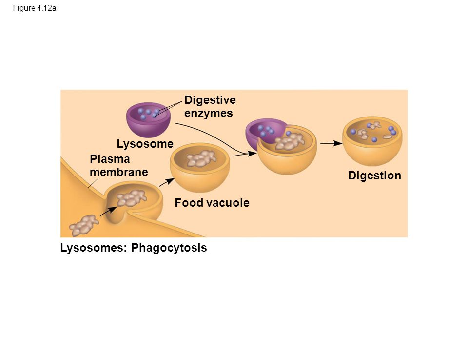 Figure 4.12a Lysosome Digestive enzymes Plasma membrane Food vacuole Lysosomes: Phagocytosis Digestion