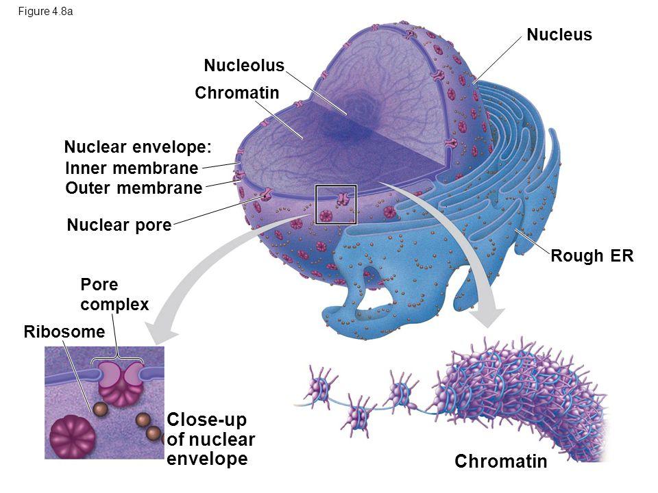 Figure 4.8a Ribosome Chromatin Rough ER Nucleus Nucleolus Chromatin Nuclear envelope: Nuclear pore Inner membrane Outer membrane Pore complex Close-up of nuclear envelope
