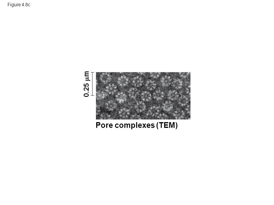 Figure 4.8c 0.25  m Pore complexes (TEM)