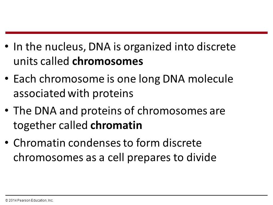 In the nucleus, DNA is organized into discrete units called chromosomes Each chromosome is one long DNA molecule associated with proteins The DNA and