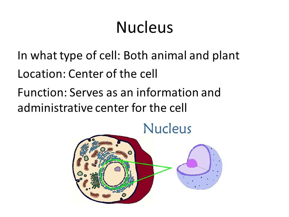 Nucleus In what type of cell: Both animal and plant Location: Center of the cell Function: Serves as an information and administrative center for the