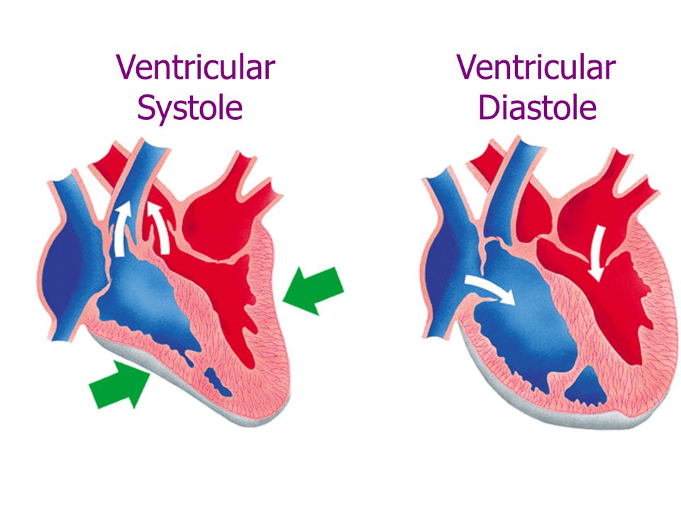 Right atrium Tricuspid valve Right ventricle Papillary muscle contracts with ventricle Chordae tendineae Septum Shape of the AV valves is maintained by chordae tendineae