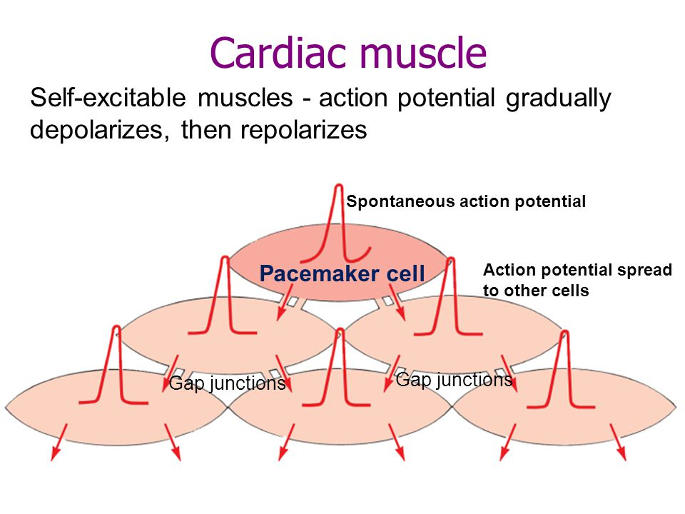 Pacemaker activity Slow depolarizations set off action potentials in a cycle