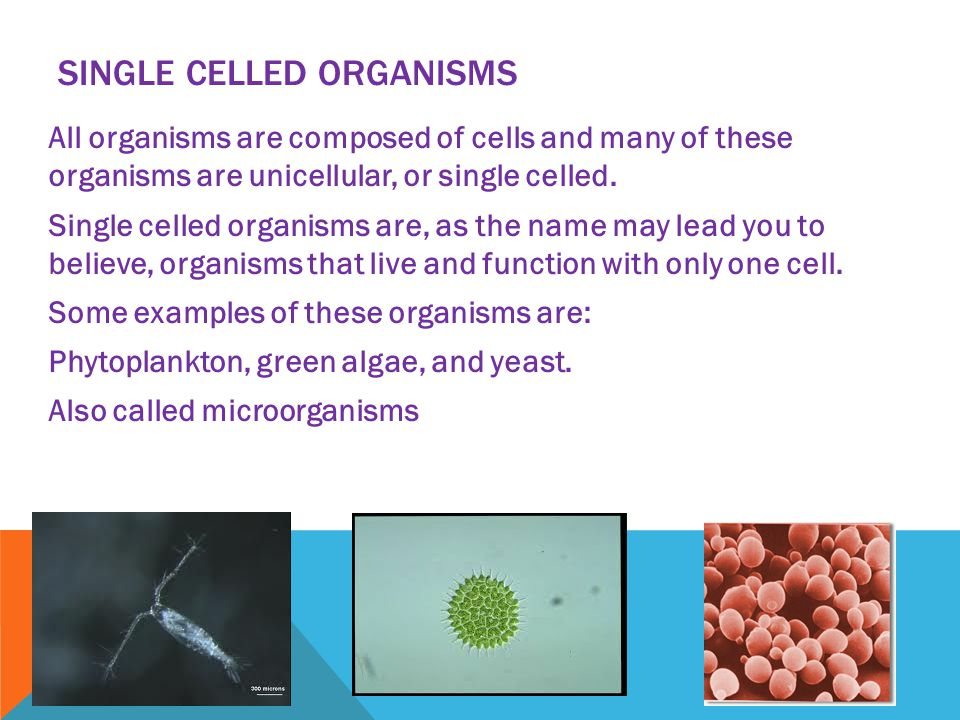 SINGLE CELLED ORGANISMS All organisms are composed of cells and many of these organisms are unicellular, or single celled. Single celled organisms are