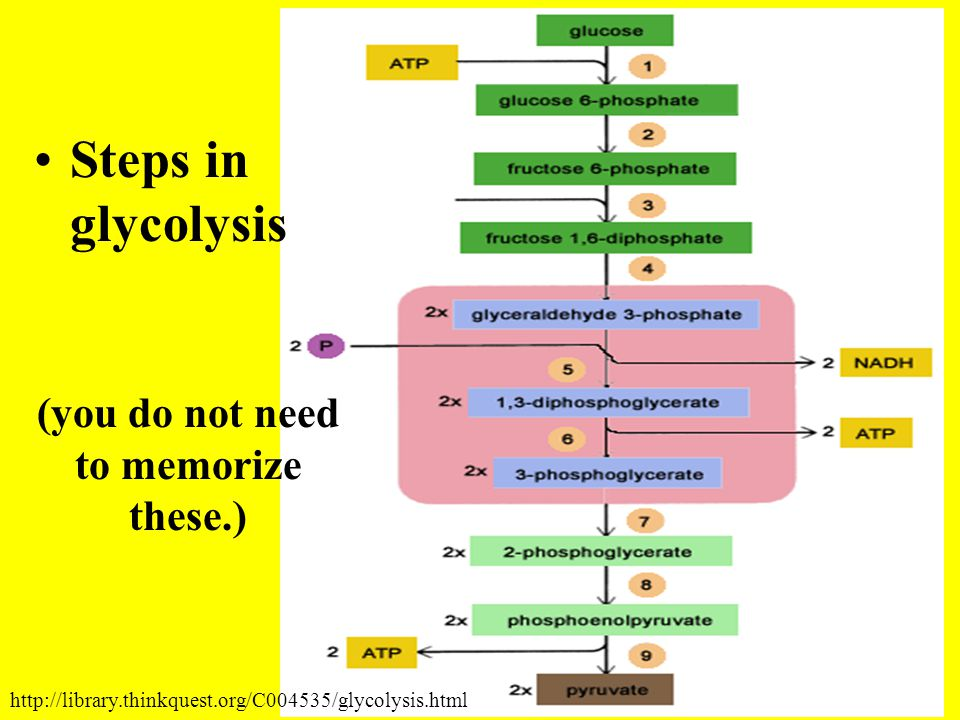 Steps in glycolysis (you do not need to memorize these.) http://library.thinkquest.org/C004535/glycolysis.html