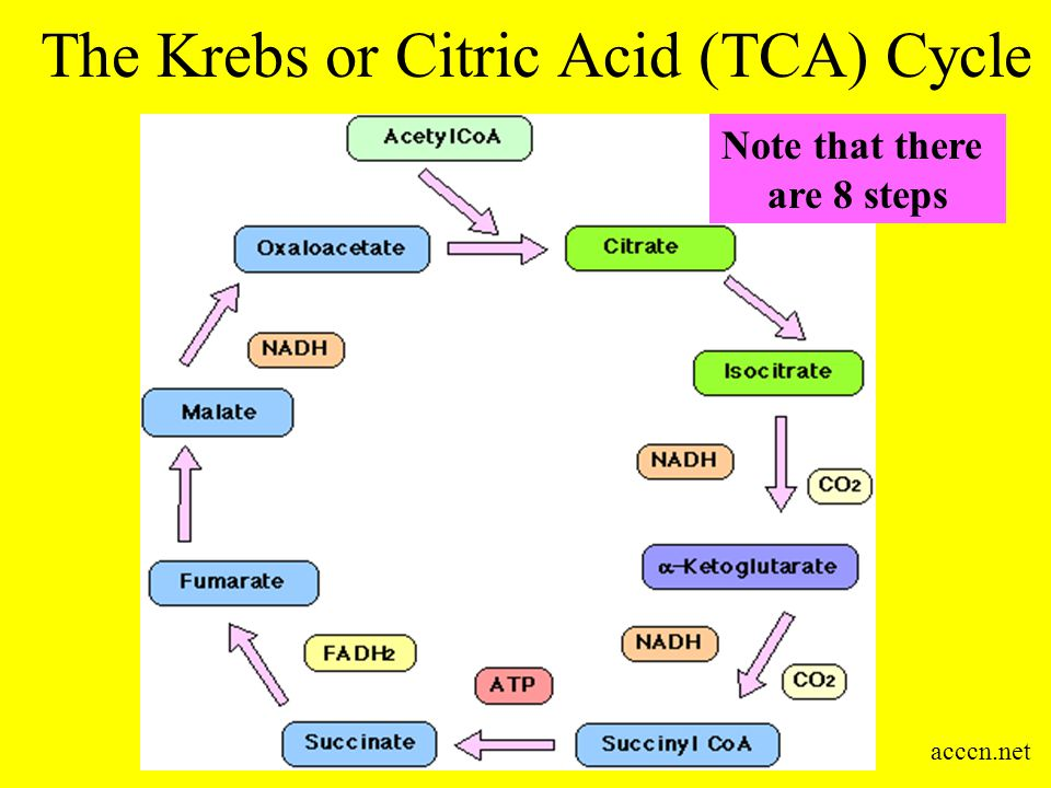 The Krebs or Citric Acid (TCA) Cycle acccn.net Note that there are 8 steps