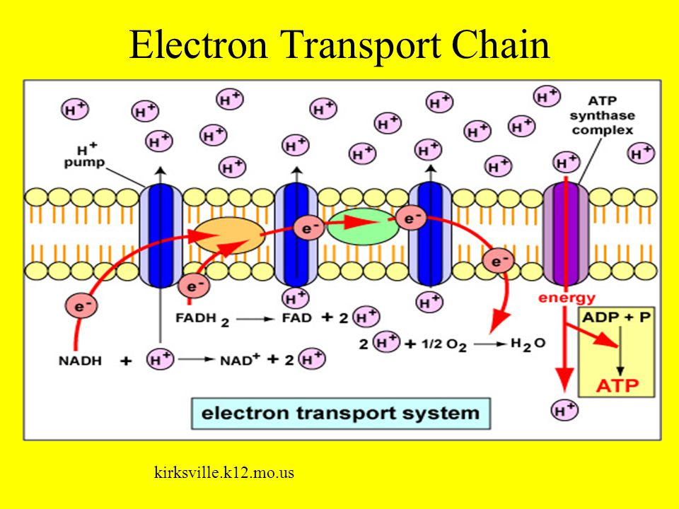 Electron Transport Chain kirksville.k12.mo.us