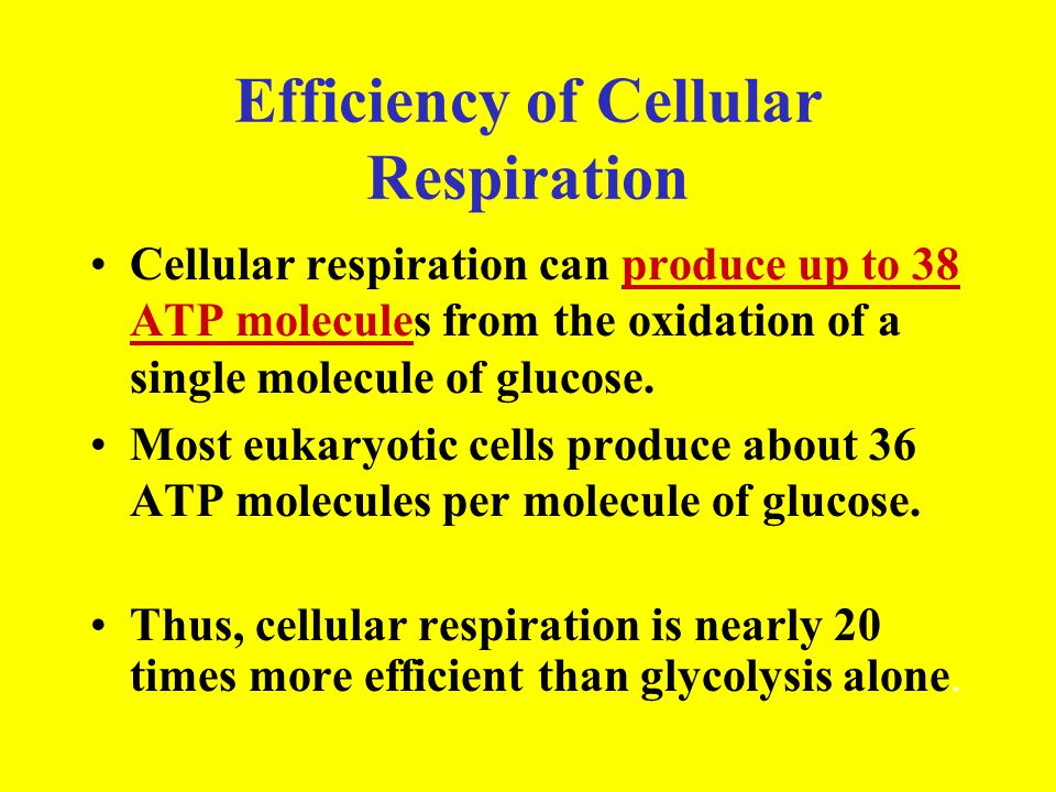 Efficiency of Cellular Respiration Cellular respiration can produce up to 38 ATP molecules from the oxidation of a single molecule of glucose. Most eu