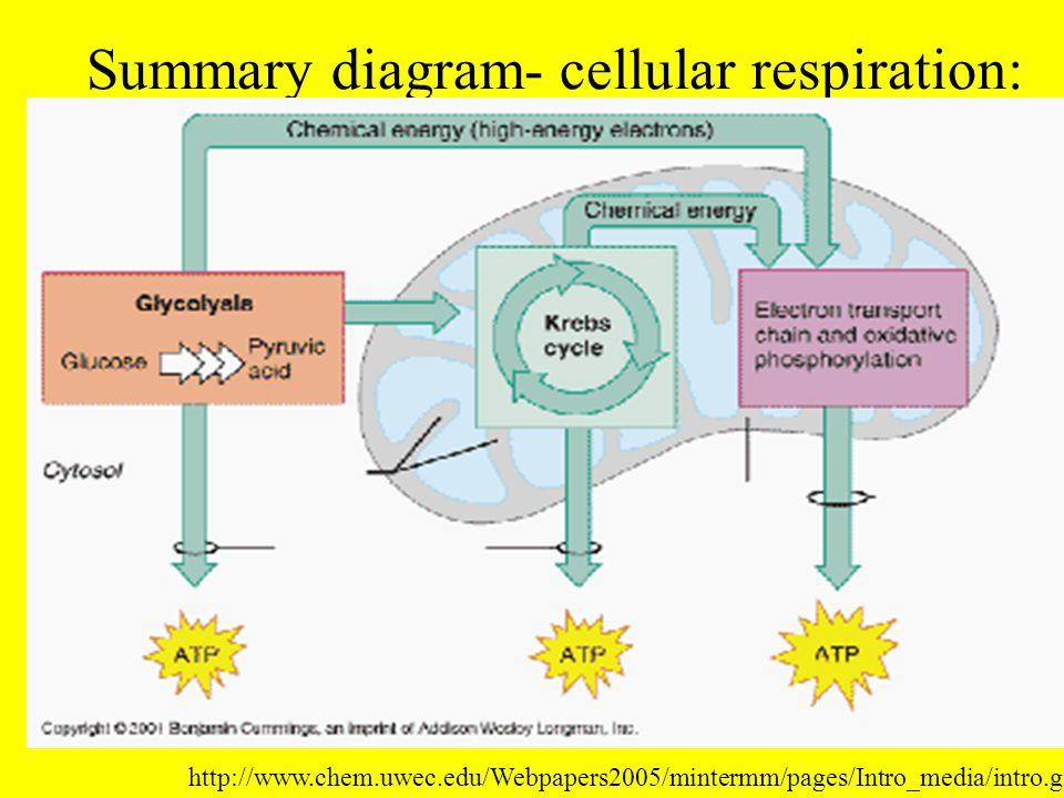Summary diagram- cellular respiration: http://www.chem.uwec.edu/Webpapers2005/mintermm/pages/Intro_media/intro.gif