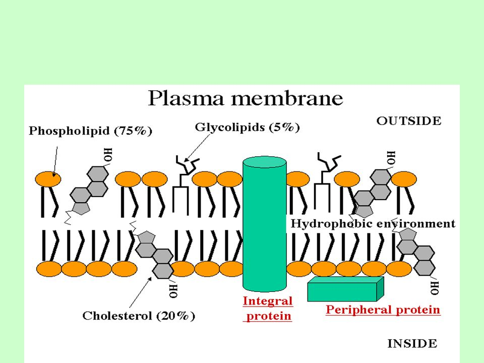 Phospholipid structure consists of glycerol – a 3-carbon polyalcohol acting as a backbone for the phospholipids 2 fatty acids attached to the glycerol phosphate group attached to the glycerol