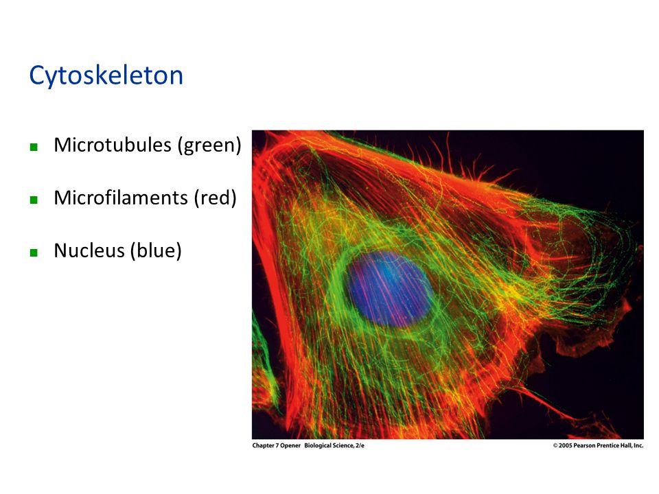Cytoskeleton n Microtubules (green) n Microfilaments (red) n Nucleus (blue)