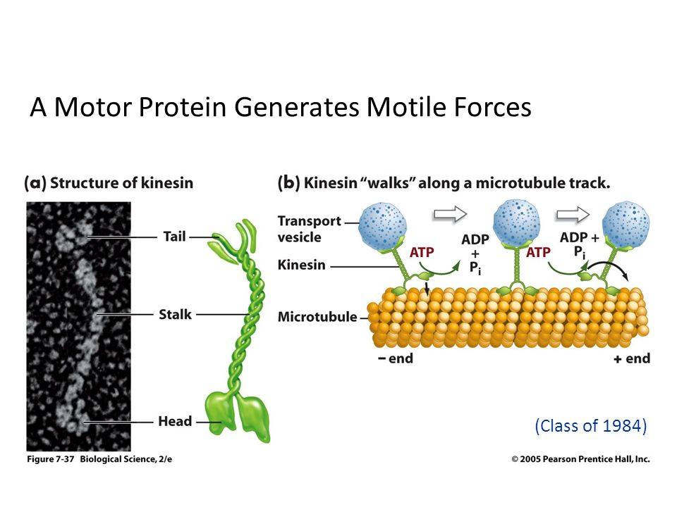 A Motor Protein Generates Motile Forces (Class of 1984)