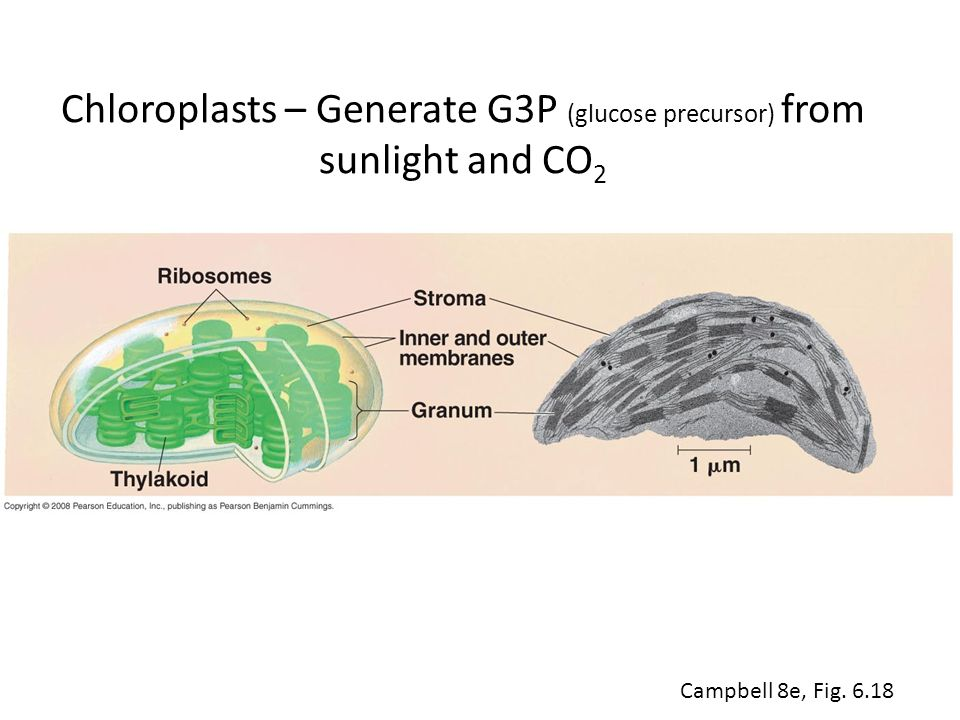 Chloroplasts – Generate G3P (glucose precursor) from sunlight and CO 2 Campbell 8e, Fig. 6.18