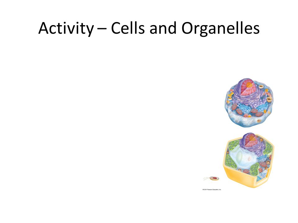 Activity – Cells and Organelles