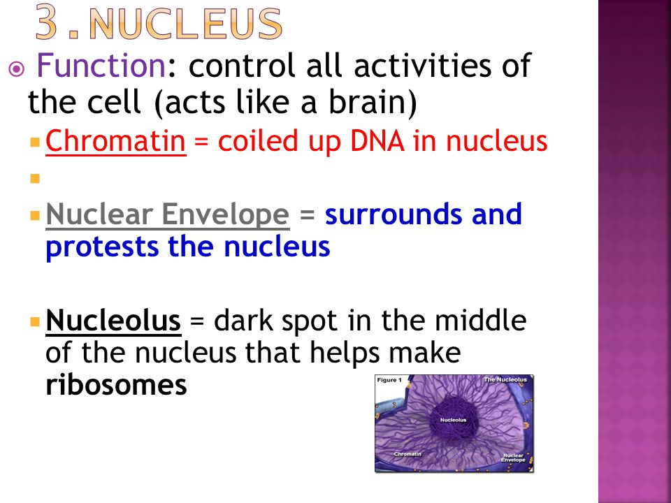  F Function: control all activities of the cell (acts like a brain) CChromatin = coiled up DNA in nucleus NNuclear Envelope = surrounds and prot