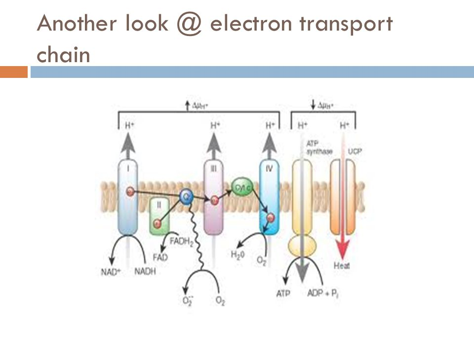 Another look @ electron transport chain