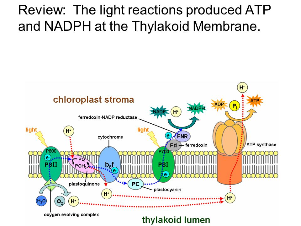 Review: The light reactions produced ATP and NADPH at the Thylakoid Membrane.