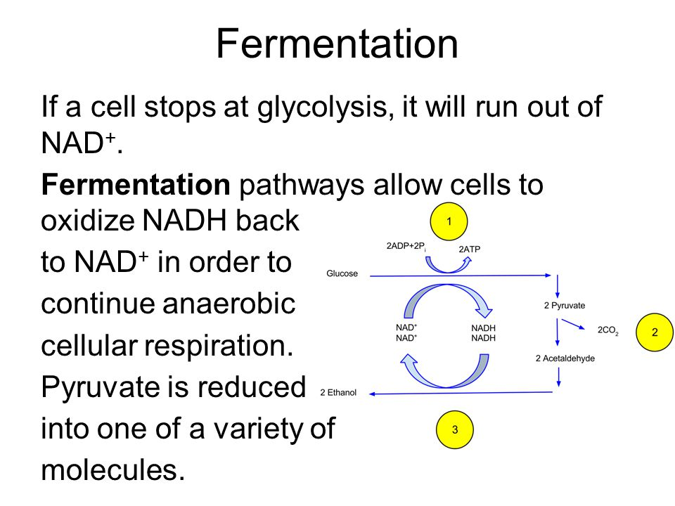 Fermentation If a cell stops at glycolysis, it will run out of NAD +.