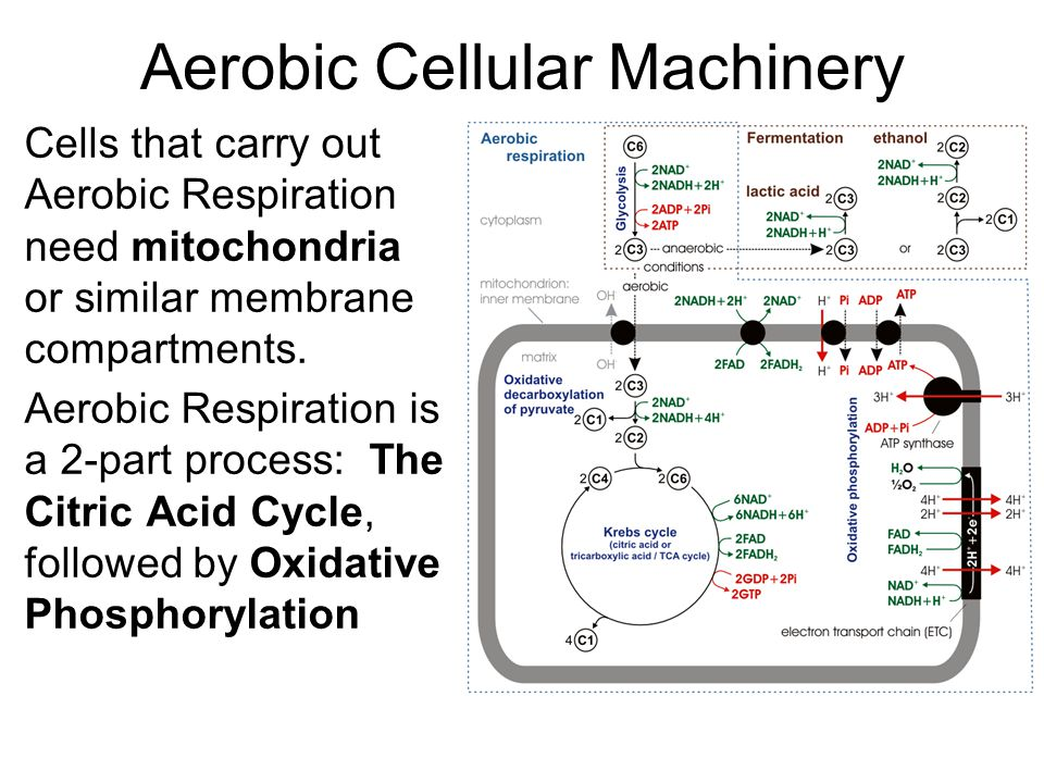 Aerobic Cellular Machinery Cells that carry out Aerobic Respiration need mitochondria or similar membrane compartments.