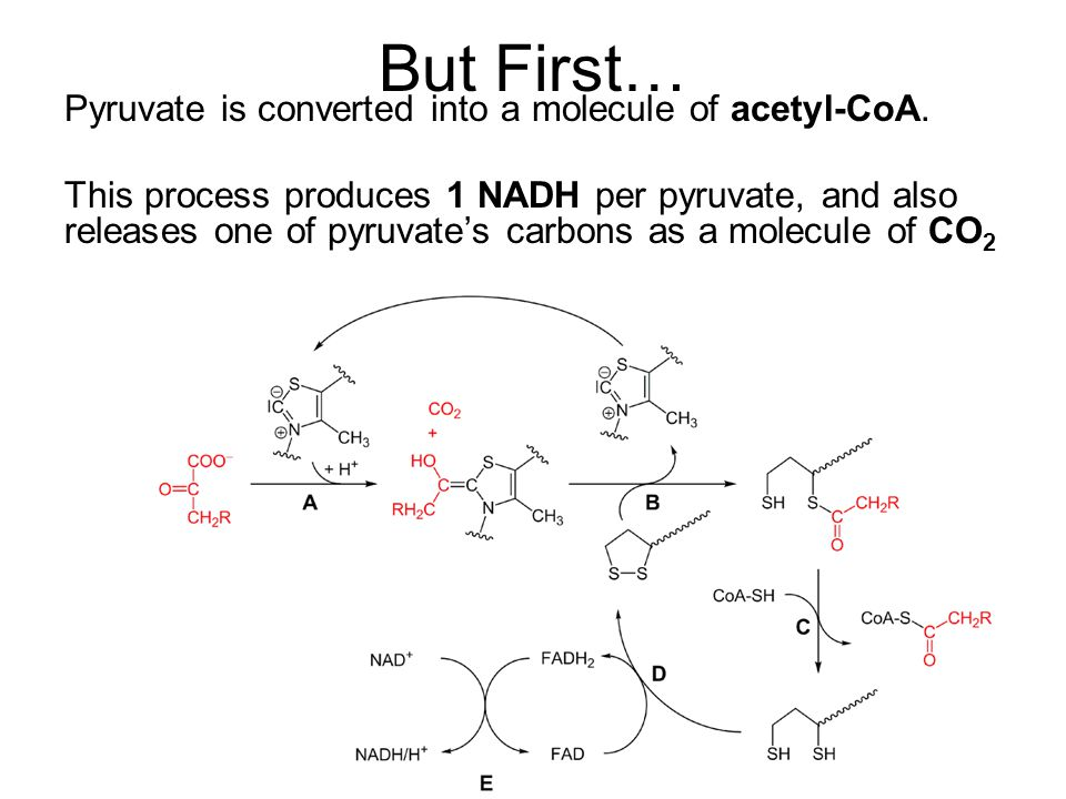 But First… Pyruvate is converted into a molecule of acetyl-CoA.