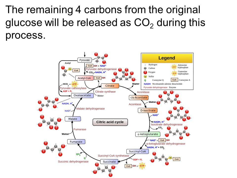 The remaining 4 carbons from the original glucose will be released as CO 2 during this process.