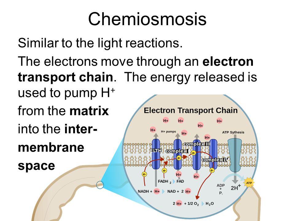 Chemiosmosis Similar to the light reactions.