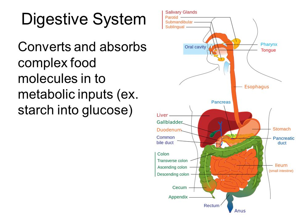 Digestive System Converts and absorbs complex food molecules in to metabolic inputs (ex.