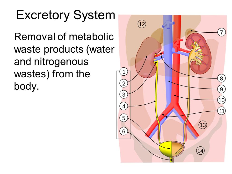 Excretory System Removal of metabolic waste products (water and nitrogenous wastes) from the body.