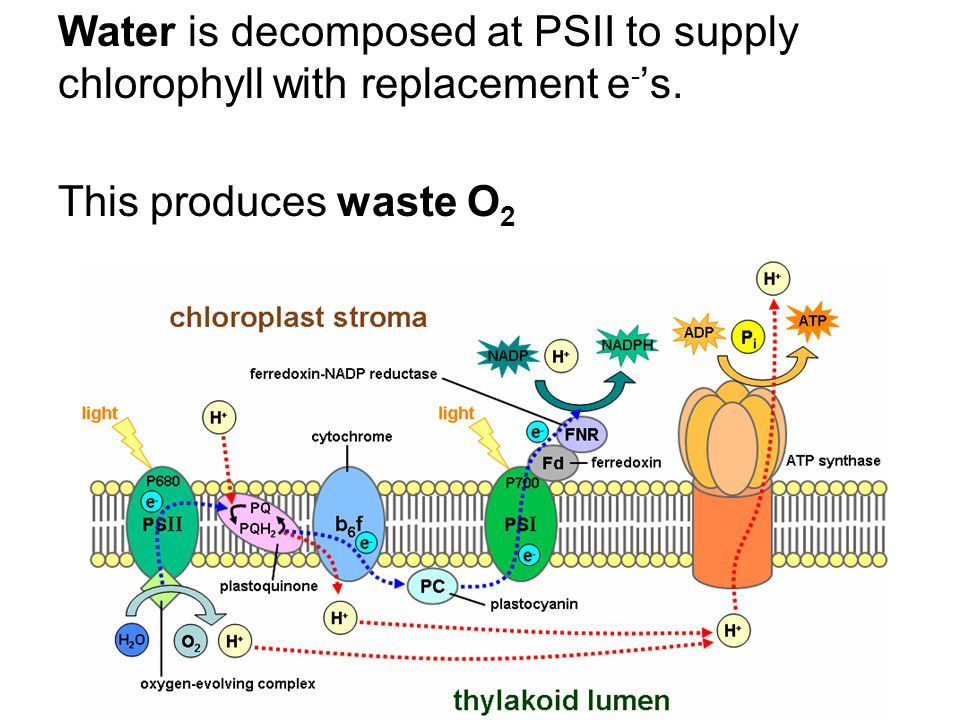 Water is decomposed at PSII to supply chlorophyll with replacement e - 's. This produces waste O 2