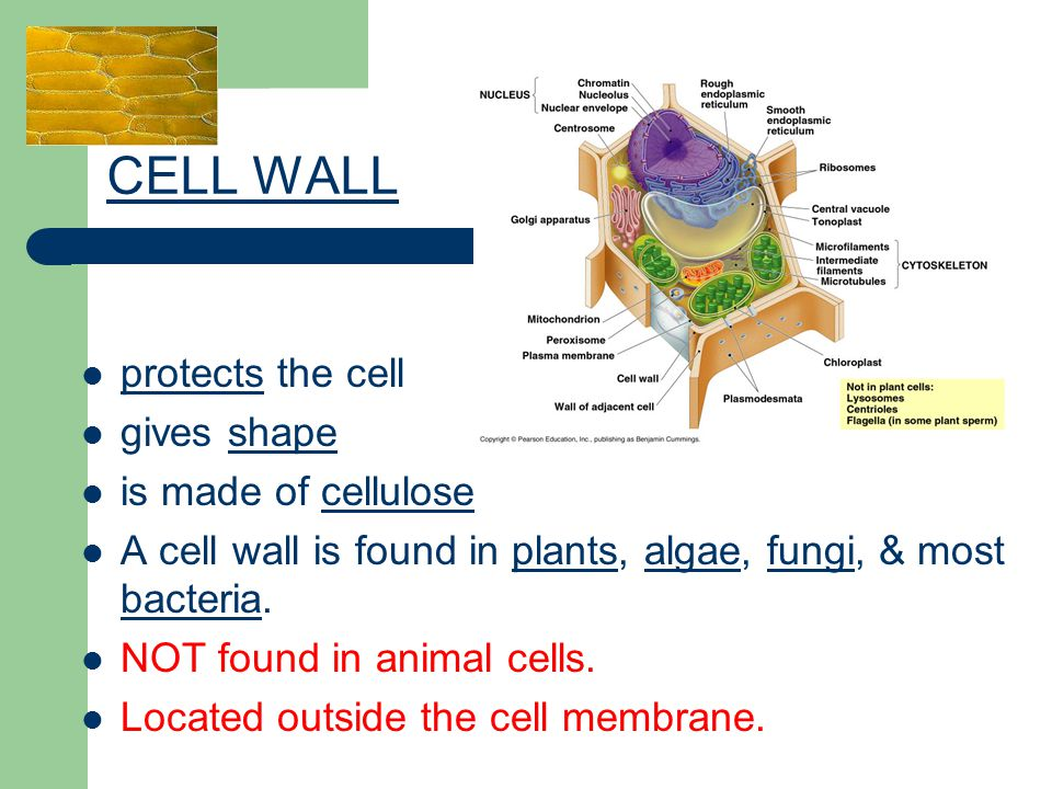 protects the cell gives shape is made of cellulose A cell wall is found in plants, algae, fungi, & most bacteria. NOT found in animal cells. Located o