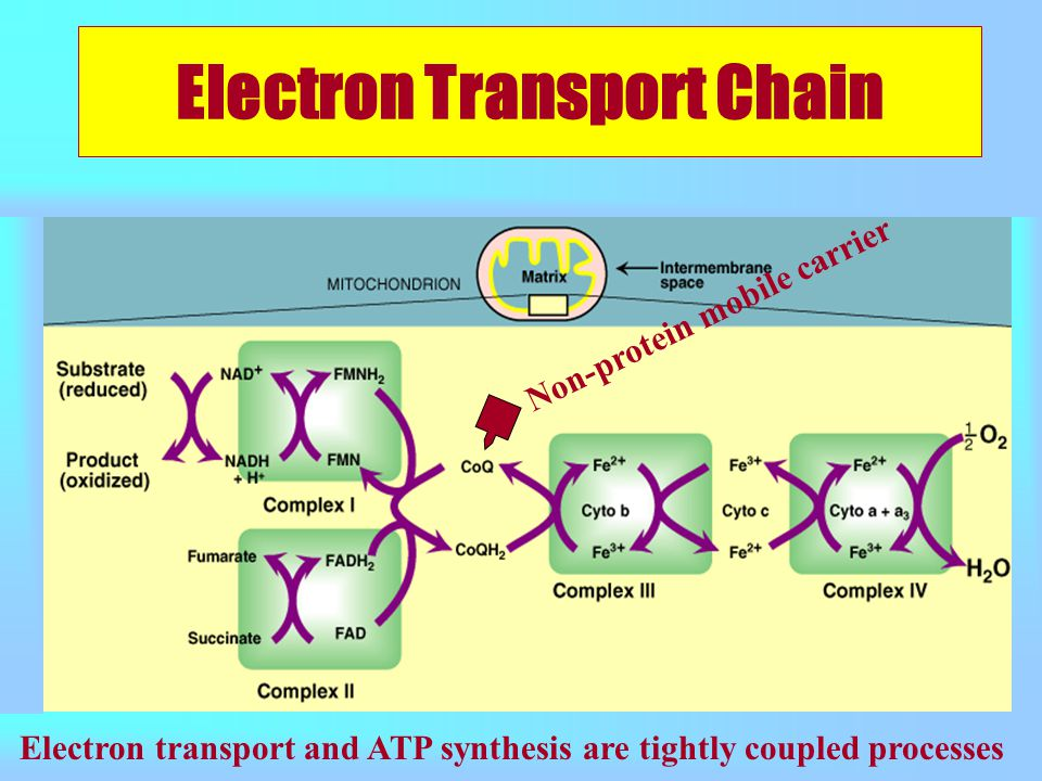 Electron Transport Chain Non-protein mobile carrier Electron transport and ATP synthesis are tightly coupled processes