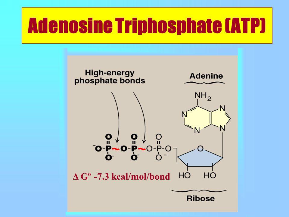 Adenosine Triphosphate (ATP) Δ Gº -7.3 kcal/mol/bond