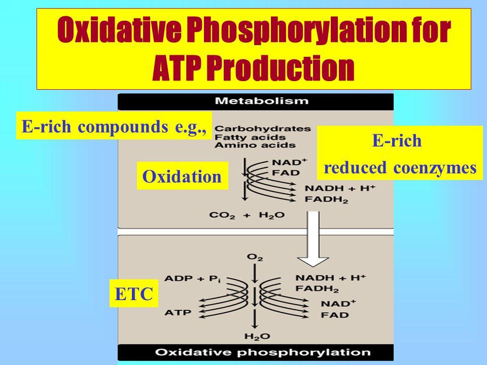 Oxidative Phosphorylation for ATP Production E-rich compounds e.g., Oxidation E-rich reduced coenzymes ETC