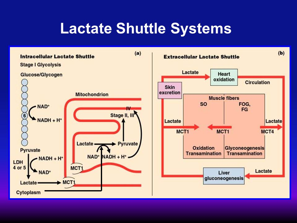 Lactate Shuttle Systems