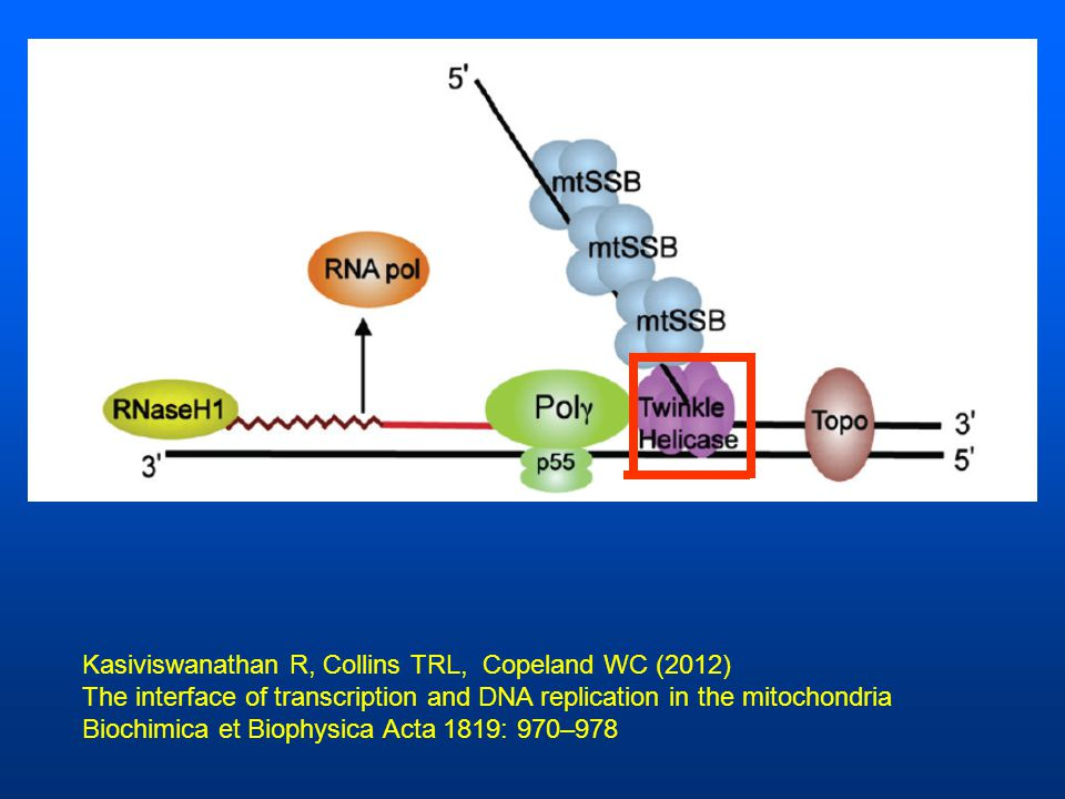 Kasiviswanathan R, Collins TRL, Copeland WC (2012) The interface of transcription and DNA replication in the mitochondria Biochimica et Biophysica Acta 1819: 970–978