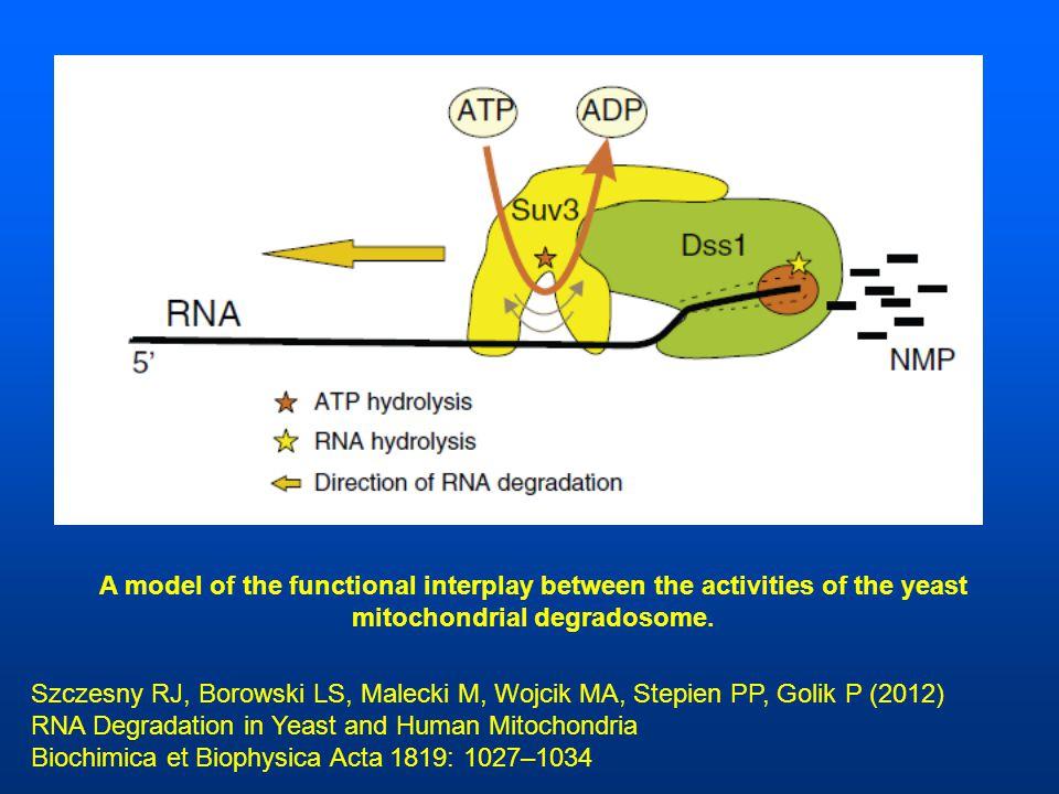 Szczesny RJ, Borowski LS, Malecki M, Wojcik MA, Stepien PP, Golik P (2012) RNA Degradation in Yeast and Human Mitochondria Biochimica et Biophysica Acta 1819: 1027–1034 A model of the functional interplay between the activities of the yeast mitochondrial degradosome.