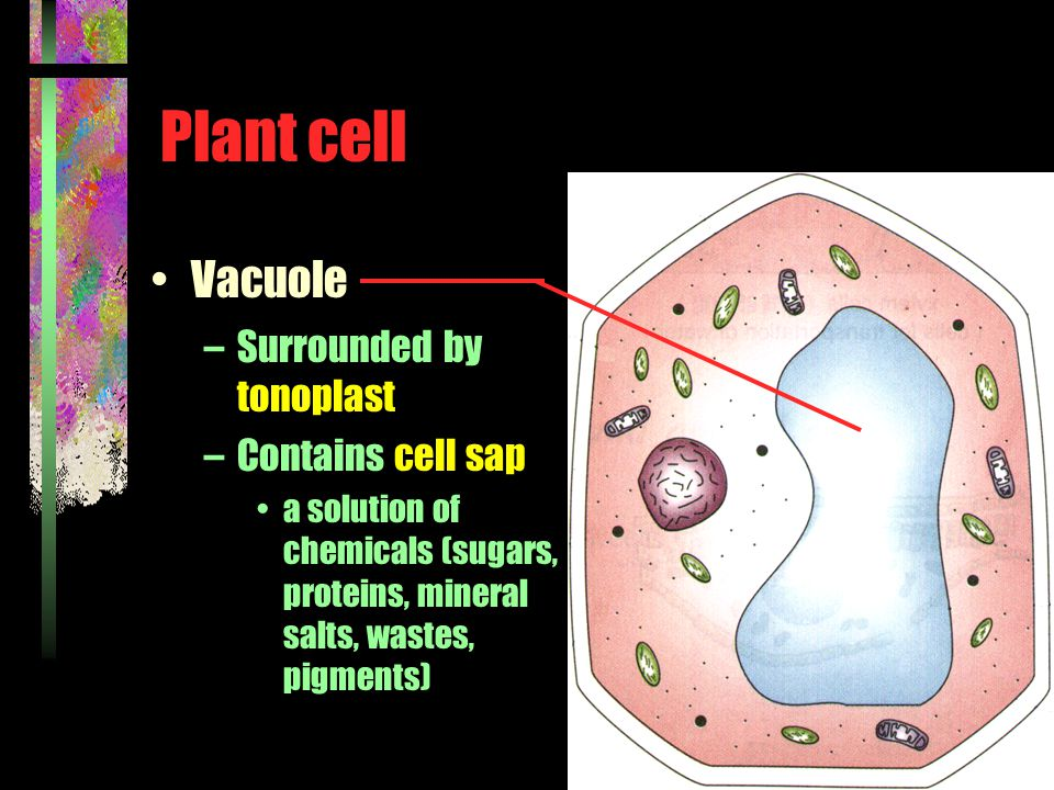 Plant cell Vacuole –Surrounded by tonoplast –Contains cell sap a solution of chemicals (sugars, proteins, mineral salts, wastes, pigments)