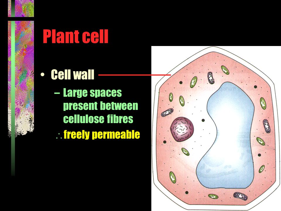 Plant cell Cell wall –Large spaces present between cellulose fibres  freely permeable