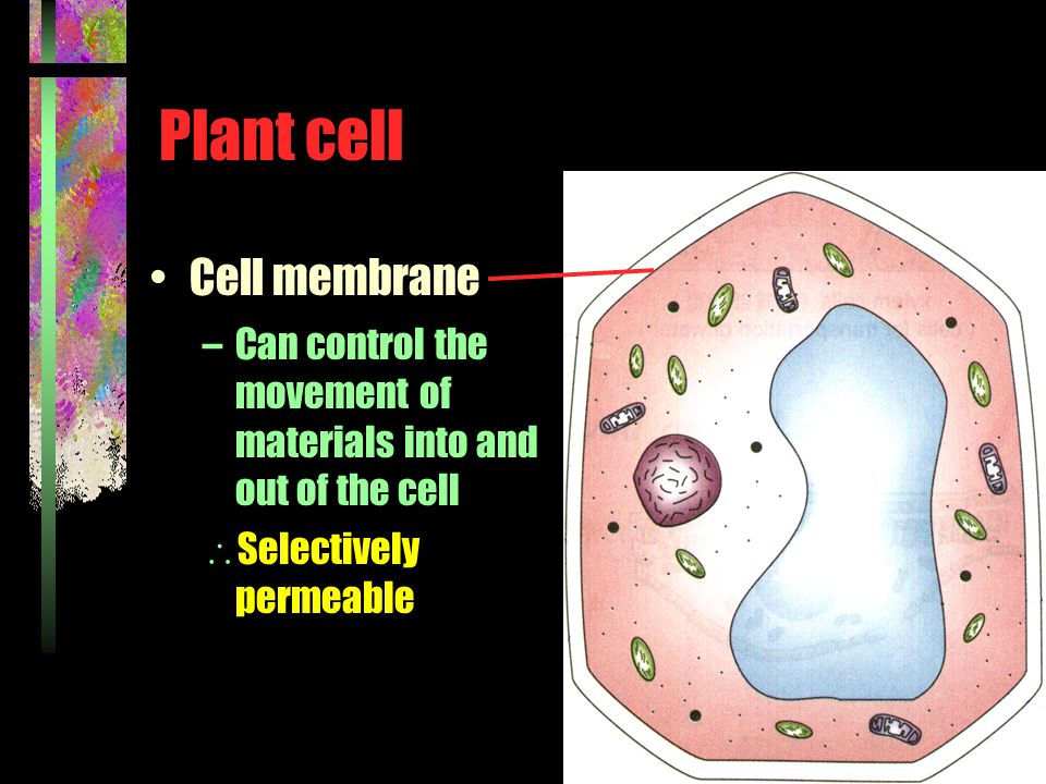 Plant cell Cell membrane –Can control the movement of materials into and out of the cell  Selectively permeable