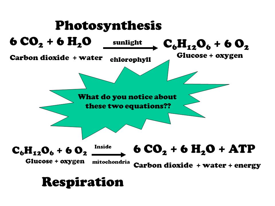6 CO 2 + 6 H 2 O Carbon dioxide + water sunlight chlorophyll C 6 H 12 O 6 + 6 O 2 Glucose + oxygen Photosynthesis C 6 H 12 O 6 + 6 O 2 Glucose + oxygen 6 CO 2 + 6 H 2 O + ATP Carbon dioxide + water + energy mitochondria Inside Respiration What do you notice about these two equations??