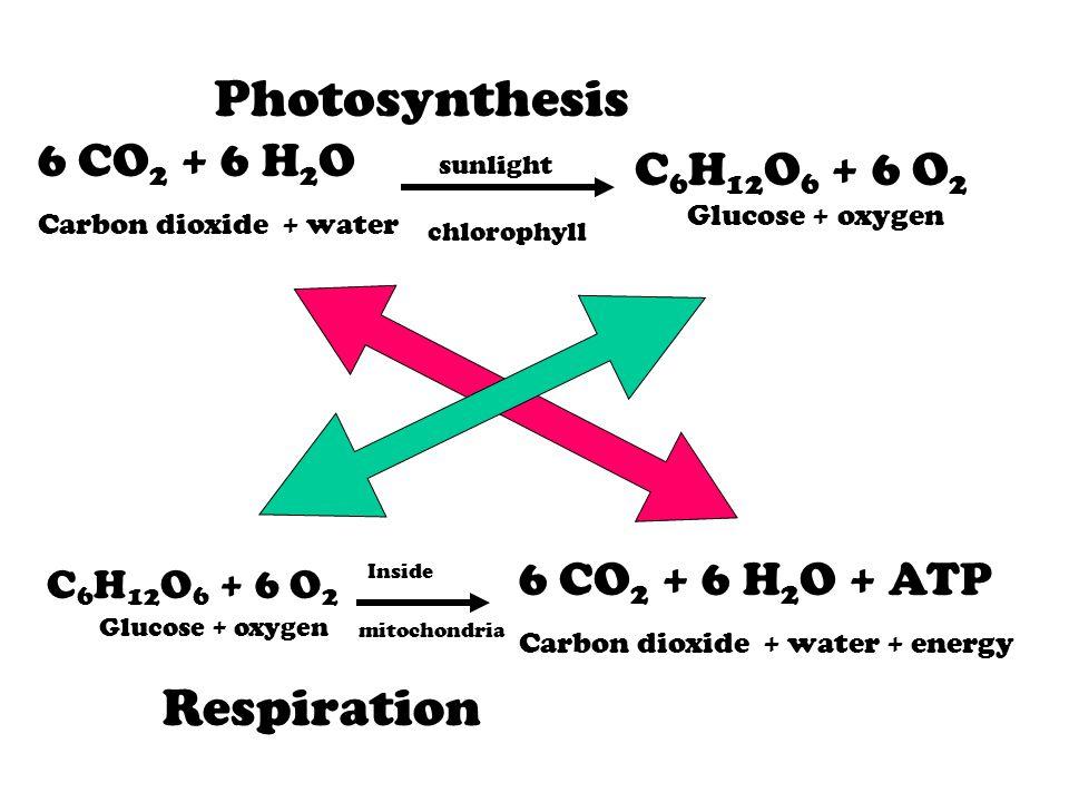 6 CO 2 + 6 H 2 O Carbon dioxide + water sunlight chlorophyll C 6 H 12 O 6 + 6 O 2 Glucose + oxygen Photosynthesis C 6 H 12 O 6 + 6 O 2 Glucose + oxyge