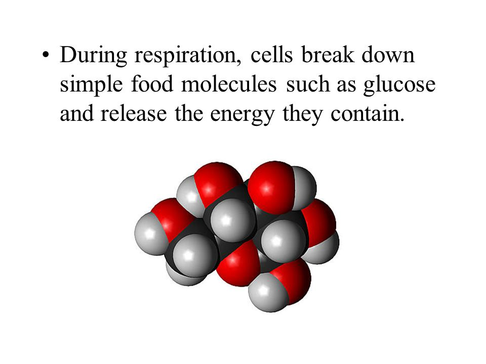 During respiration, cells break down simple food molecules such as glucose and release the energy they contain.