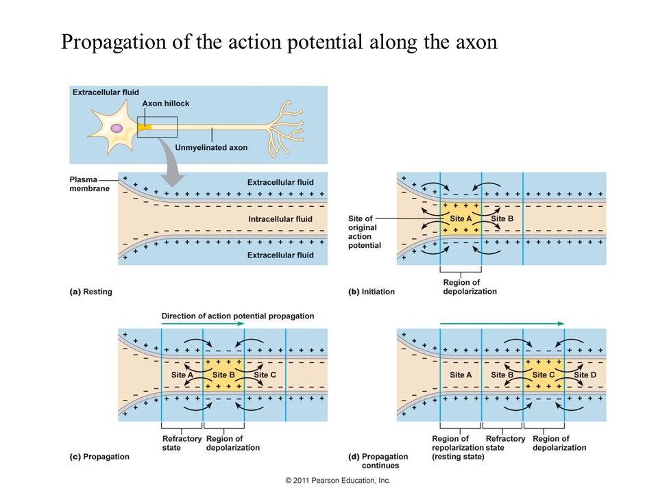 Propagation of the action potential along the axon