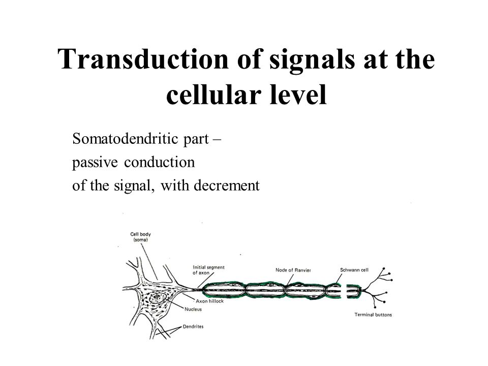 Transduction of signals at the cellular level Somatodendritic part – passive conduction of the signal, with decrement